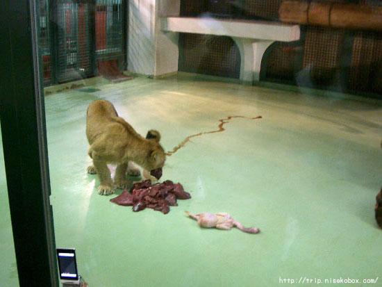 食事タイム・ライオン